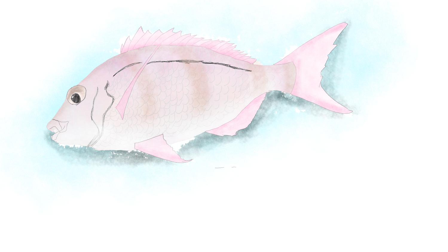 鯛/Snapper,Australia,NZ