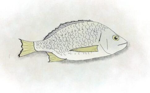 オーストラリアキチヌ / イエローフィンブリム (Yellowfin bream),Australia,NZ