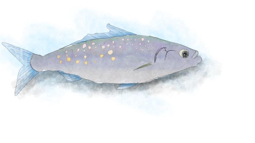 オーストラリアンサーモン(Australian salmon),Kawahai