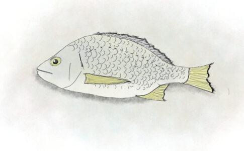 オーストラリアキチヌ / キハダマダイ (Yellowfin bream),Australia,NZ