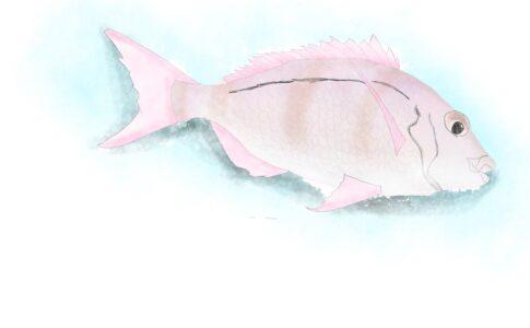 鯛2/Snapper,Australia,NZ